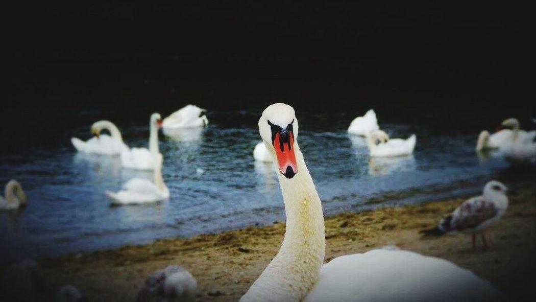 Animals In The Wild Swan Water Bird Swimming Nature Beak Outdoors Beautiful Animal EyeEm Vision