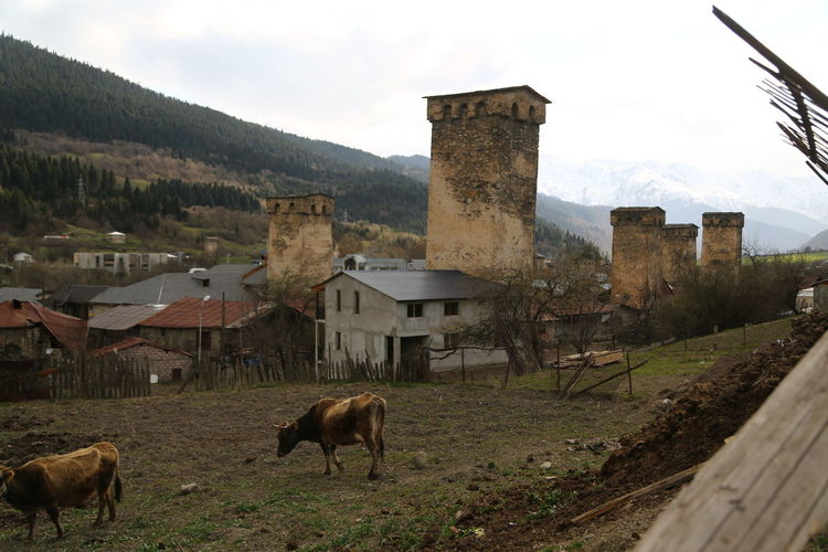 Architecture Built Structure Building Exterior Building Land Livestock Field Sky Mammal Nature Domestic Animals House Animal Animal Themes No People Day Domestic Mountain Landscape Residential District Outdoors Georgia Mestia/town In Svaneti/Georgia