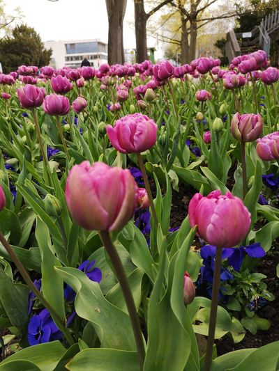 Close-up of pink tulips in park