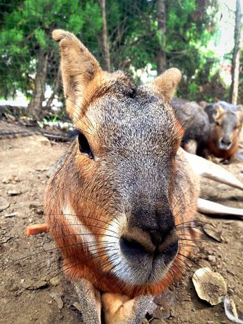 Animal Themes One Animal Animals In The Wild Day Mammal Animal Wildlife Outdoors Portrait No People Close-up Tree Nature Capibara