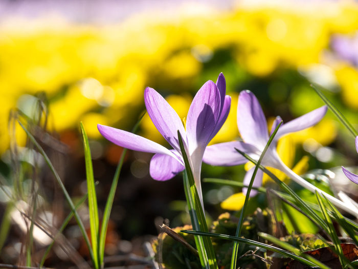 Flower Flowering Plant Freshness Vulnerability  Fragility Plant Beauty In Nature Petal Growth Close-up Flower Head Inflorescence Crocus Land Purple Field Nature Iris Focus On Foreground Day No People Outdoors Springtime