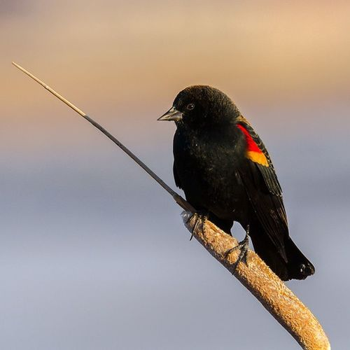 A lovely Red winged blackbird perched on cat-tail just before sunset. To view more images, please visit my online galleries @ http://wildaboutnatureimages.smugmug.com Redwinged Blackbird Nature_shooters Natureaddict Bird Birding Utahbirder Birdwatching Utahgram Wowutah Canon Tamron Picoftheday Sunset Nofilter