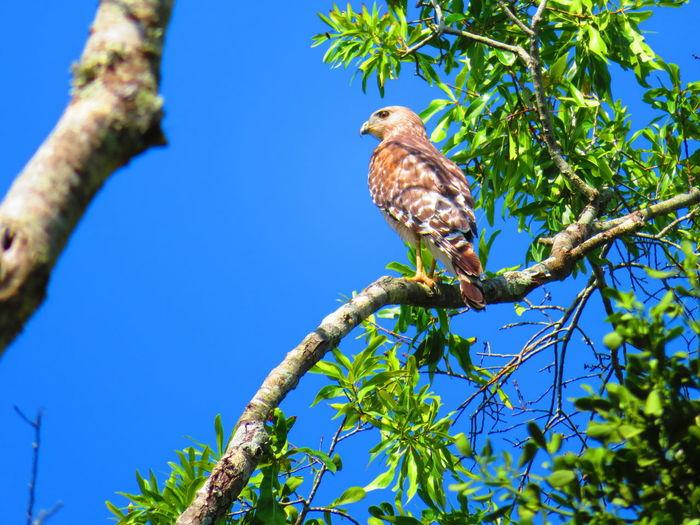 Wild hawk in tree Hawks Hawks Of Eyeem Hawk Hawk - Bird Florida Bird Perching Bird Of Prey Tree Branch Clear Sky Blue Sky Animal Themes Plant Tropical Bird