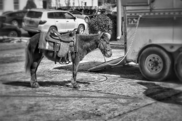 Black And White Outdoors Animals Straw Pony Pony Ride Tied Up Horse Trailer