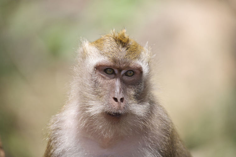 Rhesusaffe, Makake, Macaca mulatta Animal Animal Body Part Animal Eye Animal Head  Animal Themes Animal Wildlife Animals In The Wild Ape Beauty Care Close-up Cute Eye Hand Raised Living Organism Macaca Mulatta Makaken Mammal Monkey Nature No People Outdoors Phuket Portrait Thailand