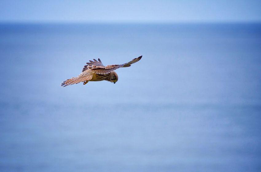 Bird Seahawk Animal Wildlife Sea Flying Beauty In Nature Coast Nature Wind EyeEm Nature Lover Outdoors Capturing Freedom