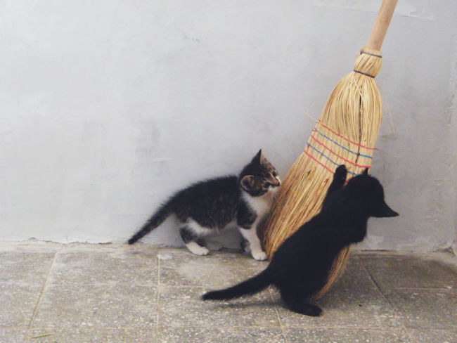 Adorable Animal Themes Black Cat Broom Cat Cubs  Curious Cute Cute Baby Domestic Animals Domestic Cat Feline Indoors  Kittens Mammal Minions Pets Playing Showcase: November Two Cats Whisker