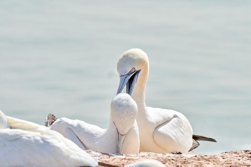 Portrait of pair of northern gannet,  two birds love in soft light, animal love behaviour.