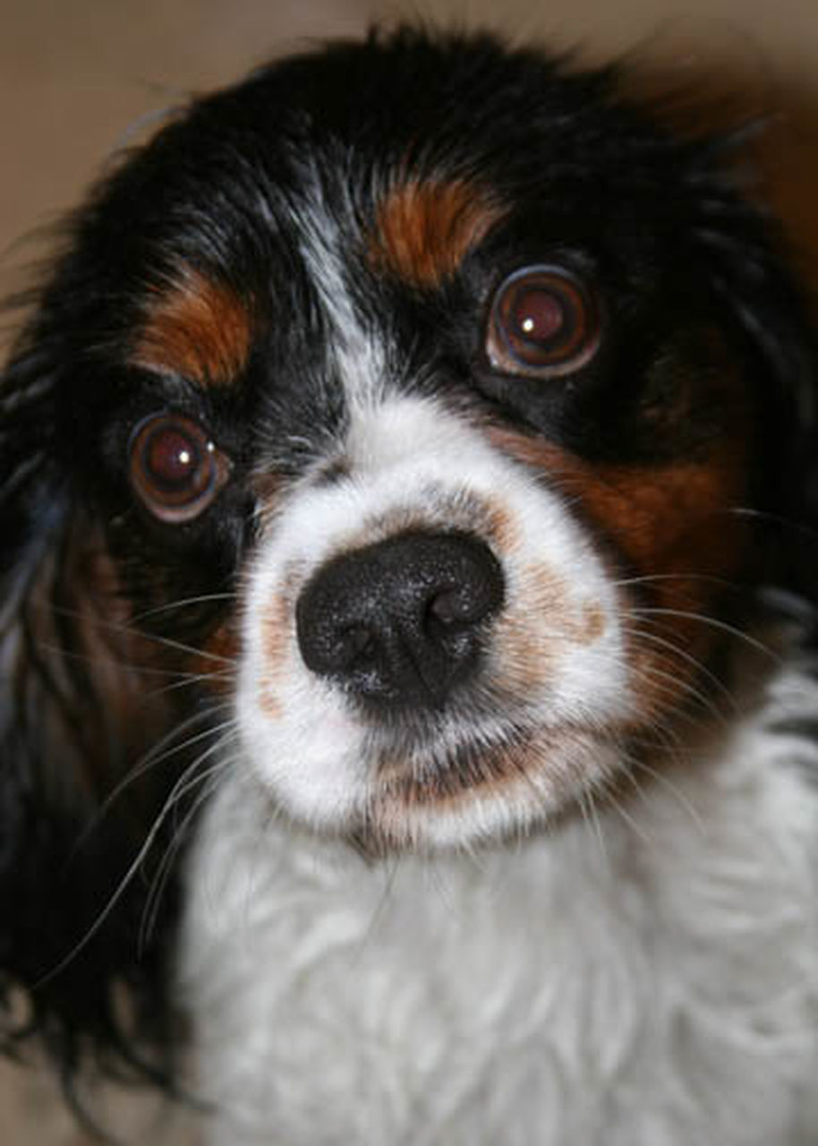 pets, dog, domestic animals, one animal, looking at camera, portrait, cavalier king charles spaniel, animal themes, close-up, animal head, indoors, mammal, no people, puppy, day