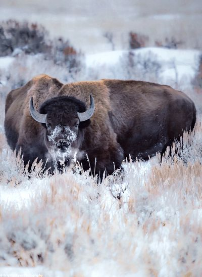 American bison on snow covered land