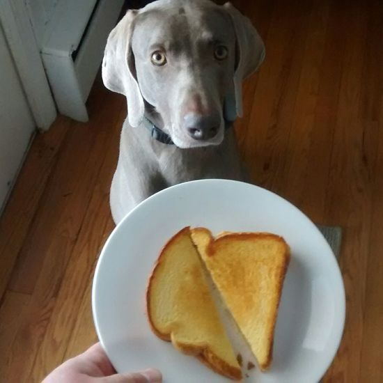 Grilled Cheese Sandwich For Me ? Hungry Dog Weimaraner Weimaranerlove EyeEm Pets Cute Pets Food Porn Awards