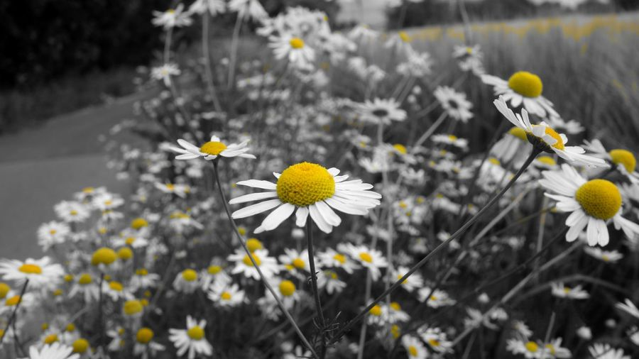 Flowers on a field Gilleleje Danmark Europe Photography Simo119e Naturepostfeature Nature Blackandwhite Black And White Black And Yellow  Black And White Photography Springtime Flowerbed Petal Uncultivated Poppy Flowering Plant Plant Life HUAWEI Photo Award: After Dark EyeEmNewHere