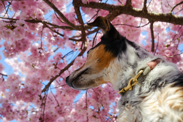 Close-up of a dog on cherry blossom tree