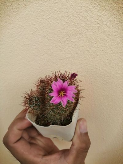 Close-up of hand holding purple flowering plant against wall