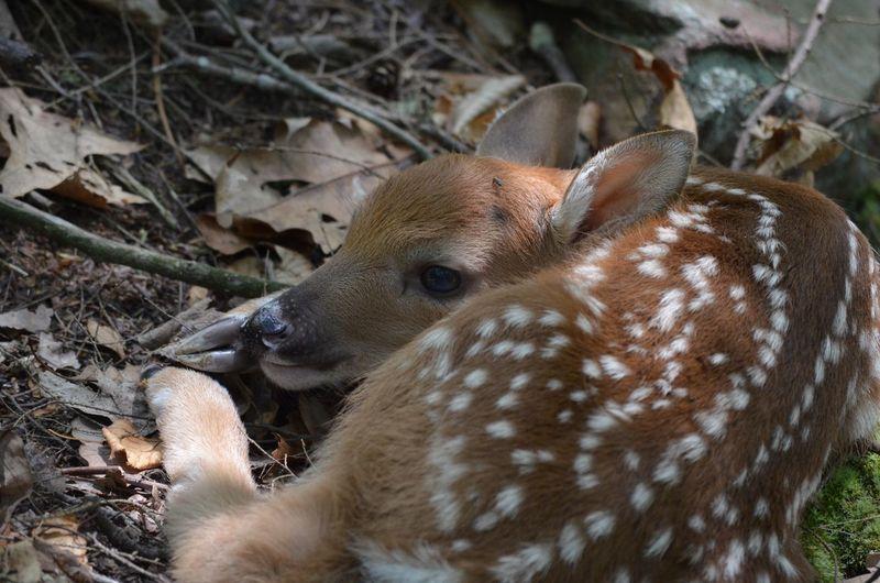 Newborn Fawn /