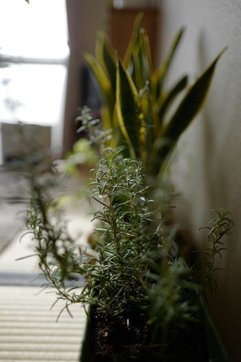 rosemary Rosemary Plant Growth Nature Potted Plant Green Color Close-up No People