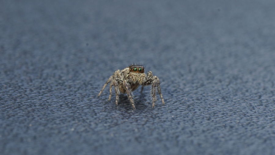 Close-up of jumping spider on road