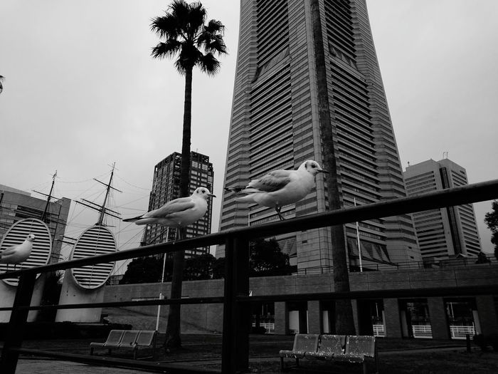 B&w Street Photography My Best Photo 2015 Birds Buildings Seagulls Xperia Z4 Yokohama Minatomirai ランドマークタワー みなとみらい Here Belongs To Me Black And White Streetphotography Architecture The Street Photographer - 2016 EyeEm Awards Nature's Diversities Ultimate Japan Japan Two Is Better Than One