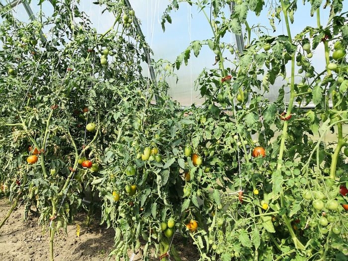 Tomatoes growing in greenhouse self-sufficiency Healthy Eating Self-sufficiency Tomatoes Tomatoes Growing Tree Full Frame Backgrounds Close-up Sky Plant Green Color Branch Petal Stamen In Bloom Blooming Stem Bare Tree Flower Tree Single Flower