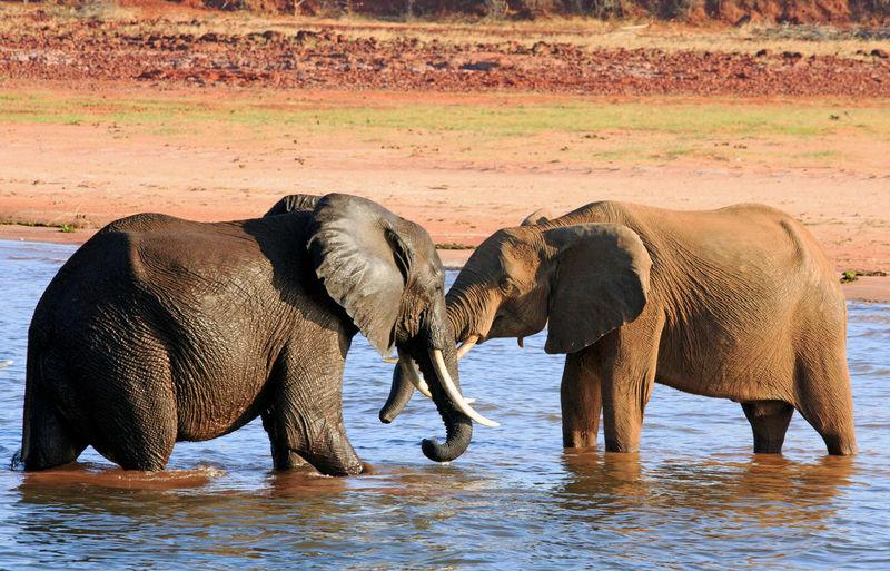 Animal Animal Body Part Animal Themes Animal Wildlife Animals In The Wild Elephant Indian Elephant Lake Kariba Nature No People Outdoors River Togetherness Water Zimbabwe