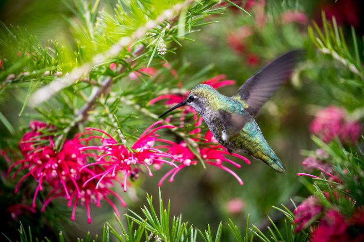 A humming bird