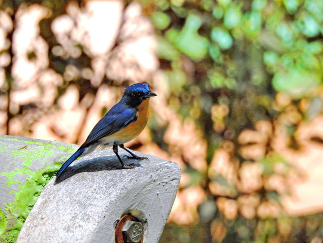 Animal Themes Beauty In Nature Bird Black Color Blue Close-up Day Focus On Foreground Nature No People Outdoors Perching Selective Focus Wildlife
