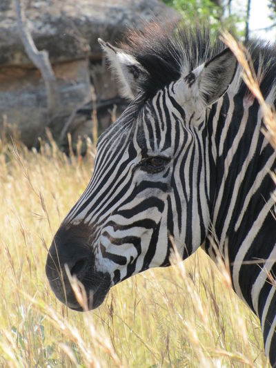 Close-up of zebra on field