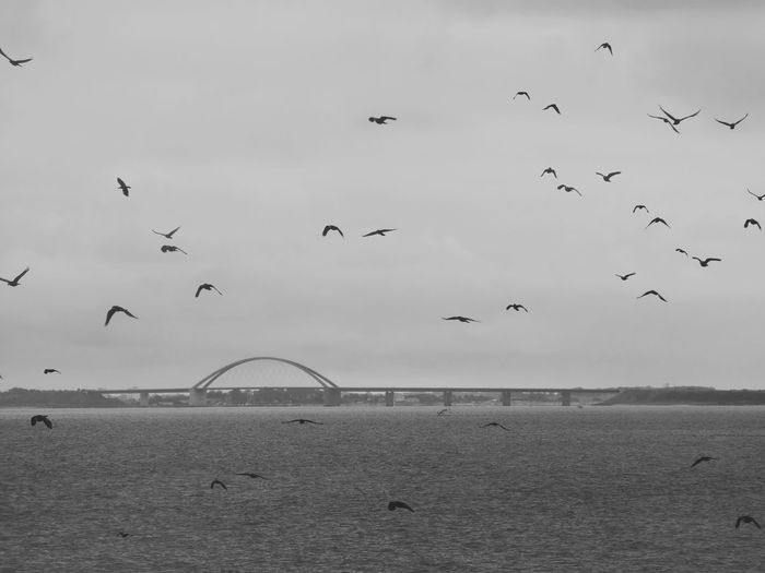 Fehmarnsundbrücke Flock Of Birds Animals In The Wild Flying Outdoors Nature EyeEm Nature Lover Black & White Sky Sea Bridge - Man Made Structure Taking Photos Bnw Monochrome Photography Black And White Exceptional Photographs EyeEm Best Shots Check This Out Raven Animal Themes Animals Seascape