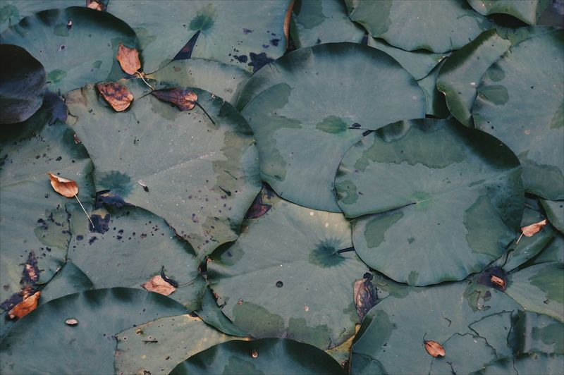 Full frame shot of lily pads