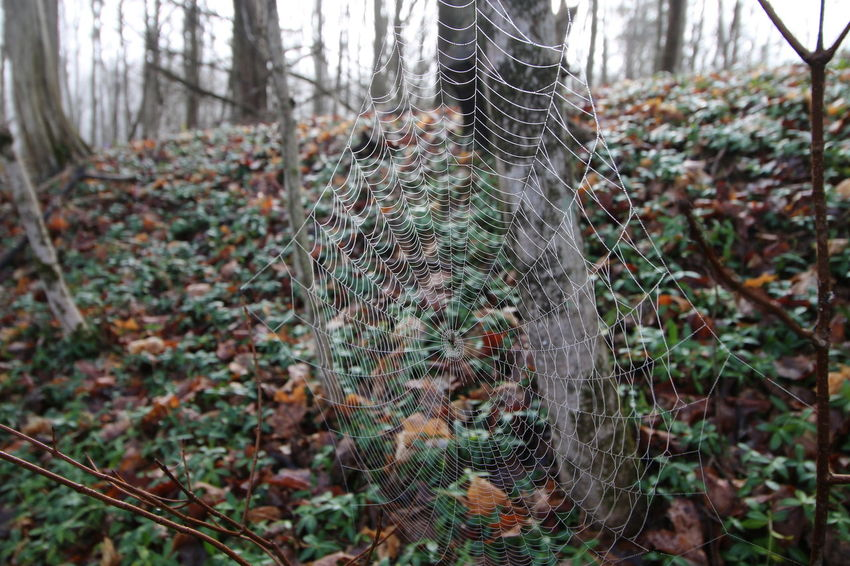 Beauty In Nature Close-up Focus On Foreground Forest Nature No People Outdoors Spider Web Spider Web, Dew, Morning,