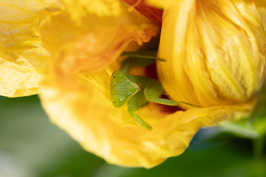 Flowering Plant Close-up Plant Flower Petal Animals In The Wild Beauty In Nature Insect Animal Themes Nature One Animal Pollination Animal Freshness Yellow Invertebrate Praying Mantis Animal Wildlife