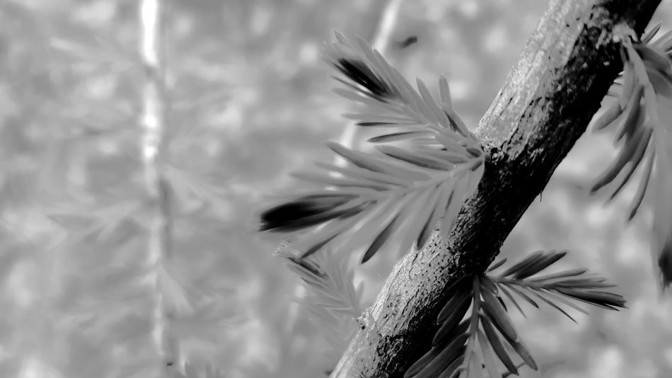 Pine tree needles. PhotographybyTripp Smartphone Photography Phoneography Samsung Galaxy Note 5 Camera360Ultimate Pixlr Beastgrip Pro Blackandwhite Photography Shadows & Lights Grayscale Tree_collection  Creative Light And Shadow Creative Photography Black And White Check This Out Selective Focus Manual Focus EyeEm Gallery