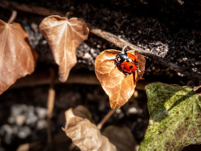 Invertebrate Insect Animal Animal Themes Animals In The Wild One Animal Animal Wildlife Beetle Close-up Ladybug No People Nature Day Plant Part Leaf Plant Dry Focus On Foreground High Angle View Red Outdoors Animal Wing