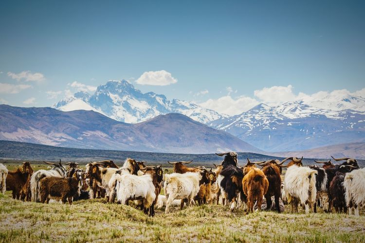 Goats standing on grassy field by mountains against sky