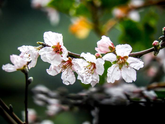 Almond Tree Blossom Beauty In Nature EyeEmEsterlinda Flower Green Italy March Nature Nature Naturelovers Tree White Color EyeEmNewHere