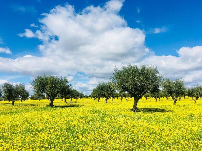 Olives tree in field of Alentejo, Portugal South Of Portugal Trees Mediterranean  Portugal Alentejo-Portugal Yellow Field Yellow Flower Olive Tree