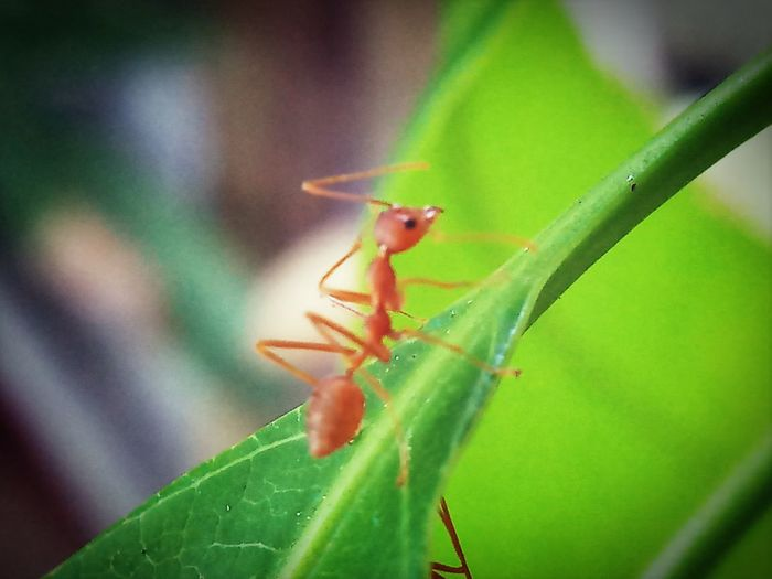 Grasshopper Leaf Damselfly Insect Ant Close-up Animal Themes Plant Green Color Dragonfly Animal Leg Animal Wing Butterfly - Insect