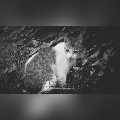 Lidow Billi Meow Cat Adorable Cute Sitting Searching B &w