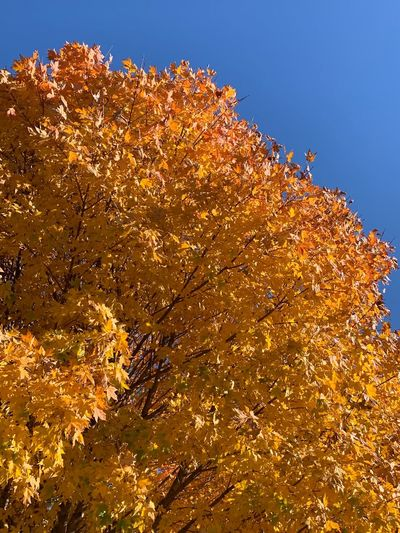 EyeEm Selects Low Angle View Plant Sky No People Nature Beauty In Nature Tree Outdoors Growth Orange Color Branch Change Sunlight Yellow Tranquility Scenics - Nature Clear Sky Day Gold Colored Autumn