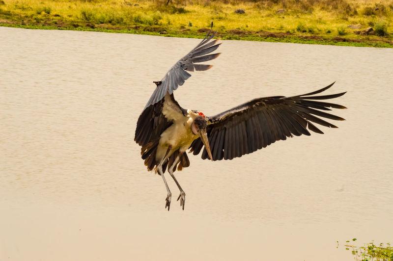 Animal Themes Animal Bird Animal Wildlife Animals In The Wild Nature No People One Animal Lake Mid-air Water Outdoors Marabou Stork Nairobi National Park Kenya