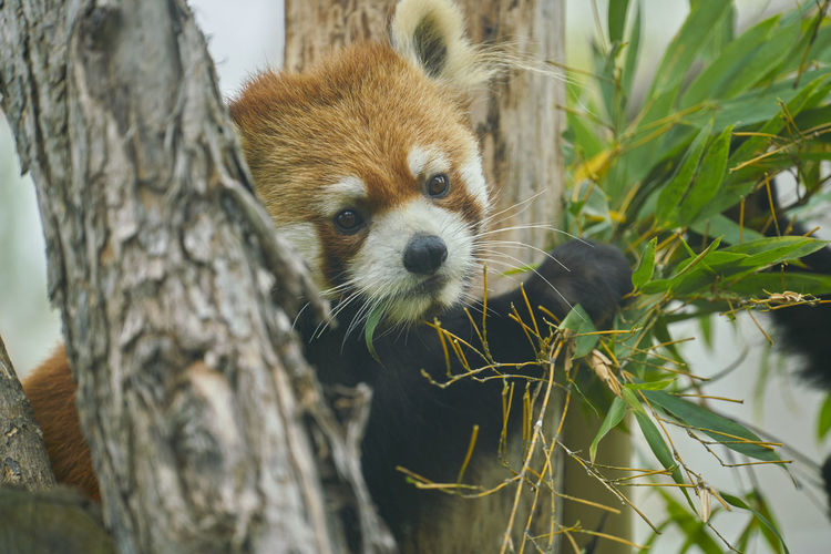 Close-Up Portrait Of Red Panda In Tree