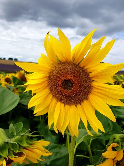 Yellow Flower Sunflower Agriculture Beauty In Nature Flower Head Cloud - Sky Plant