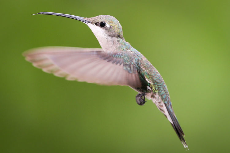 Animal Themes Animal Wildlife Animal One Animal Animals In The Wild Vertebrate Hummingbird Close-up Bird No People Focus On Foreground Flying Colored Background Day Mid-air Spread Wings Full Length Nature Green Color Selective Focus Outdoors Green Background Flapping
