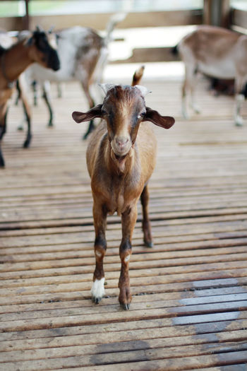 Portrait of kid goats standing at barn