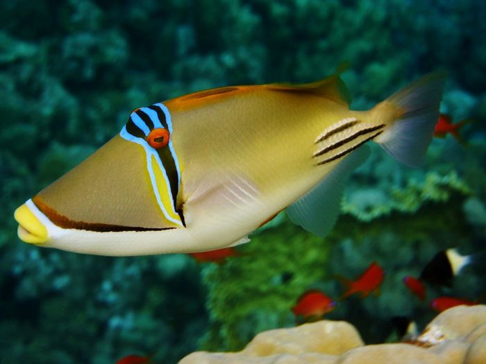 Lagoon Triggerfish Swimming Underwater