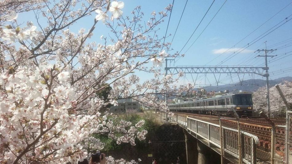 春爛漫 Fiowers Trains Nishinomiya Train_of_our_world Train Cherry Blossoms 夙川