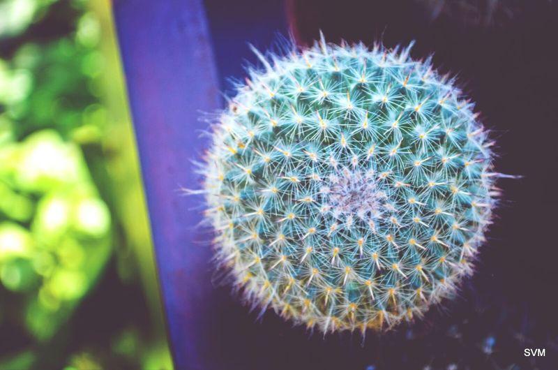 Cactus Desert Prick Thorns