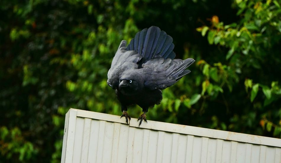 Crow Birds Panasonic Lumix G7 Bunya Mountains