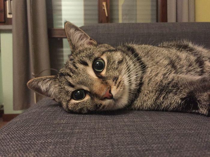 Domestic Pets Domestic Animals Mammal One Animal Animal Themes Animal Domestic Cat Whisker Home Interior Looking At Camera
