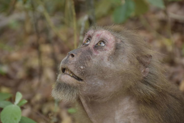 Close-up of assam macaque looking away
